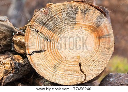Round Headed Borer Larva In Pine Wood