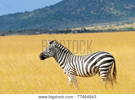 Zebra on the Masai Mara National Reserve safari in southwestern Kenya.