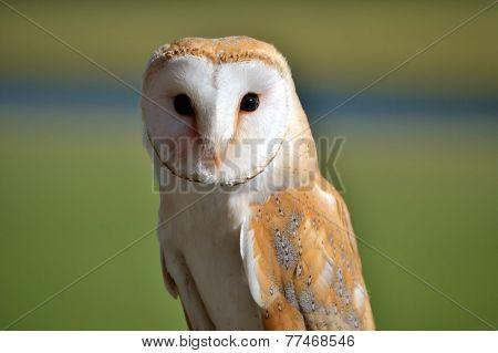 Barn Owl Portret