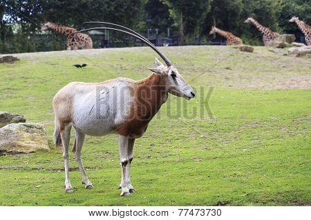Scimitar horned oryx.