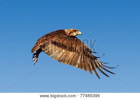 Juvenile Bateleur eagle (Terathopius  ecaudatus) flying against blue sky - Kruger National Park (South Africa)