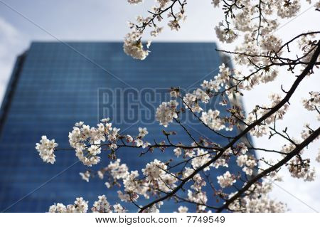 Cherry blossom in front of business building