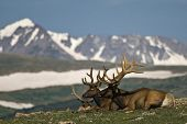 A couple of deers on top of the world, against a background of snowy mountains. poster