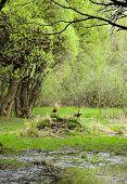 Europe. Spring garden landscape with Ruddy Shelduck. poster