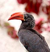 Crowned hornbill (Tockus alboterminatus)showing off its huge beak. poster