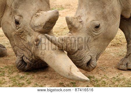 White Rhinoceros Battle