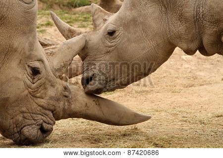 White Rhinoceros Battle13