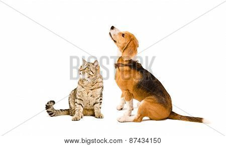 Cat Scottish Straight  and Beagle dog