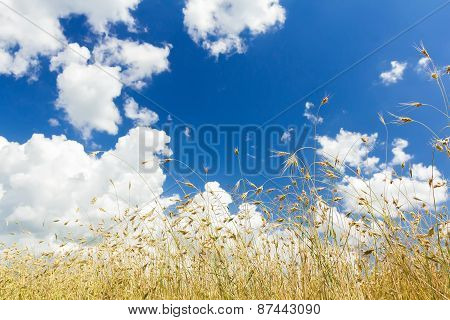 Snow White cumulus clouds on rich aero blue color sky high up over ripening oat cereal ears farm field poster