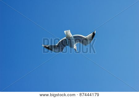 Seagull (larus Marinus) Flying In Sky