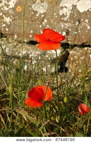 Red Poppies Close To Old Wall
