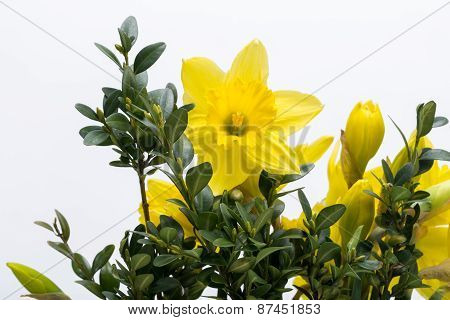 Yellow jonquil flowers isolated on white background.