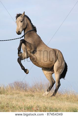 Beautiful Bay Quarter Horse Prancing
