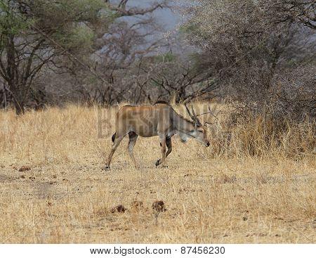 African hartebeest