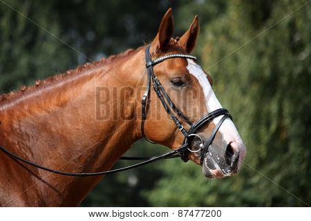 Chestnut Sport Horse Portrait During Competition