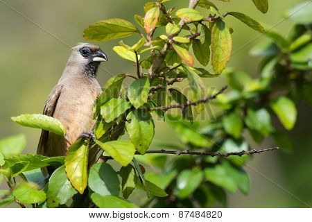 Speckled Mousebird (colius Striatus) Perched On A Leafy Branch