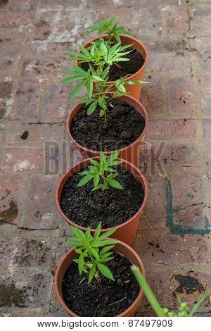 Home Farming. Marihuana Plants. Recreational Drug.