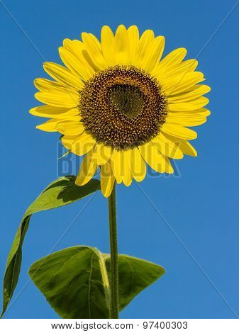 The Blooming Sunflowers On Summer .