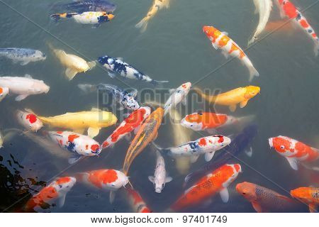 Lot Of Colorful Koi Fishes In Japanese Garden