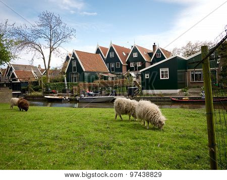 Sheep And Traditional Wooden Housen In De Rijp