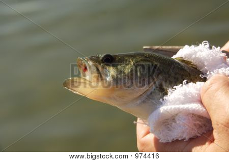 Bass Fish Out Of Water