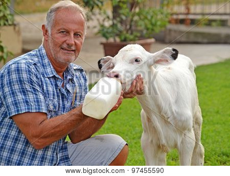 Farmer feeding a little baby white cow with milk bottle.