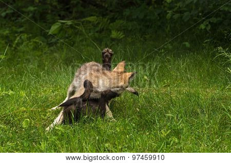 Two Grey Wolf Pups (canis Lupus) Tussle