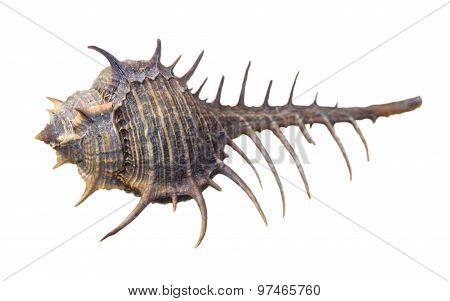 Shell Of Murex Altispira Or Caltrop Murex