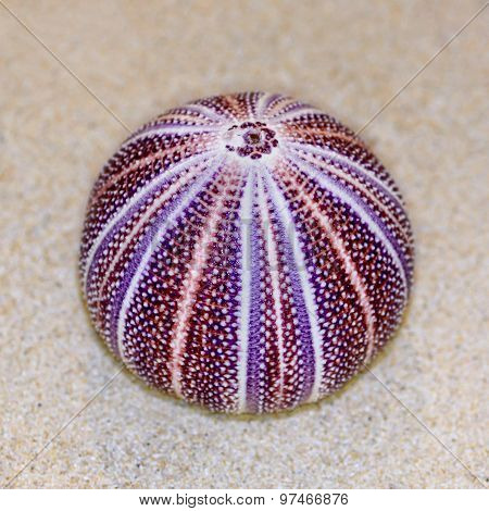 Shell Of Sea Urchin Or Urchin