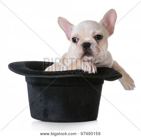 cute puppy - french bulldog inside a tophat on white background