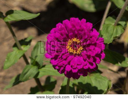 Benarys giant purple zinnia flower
