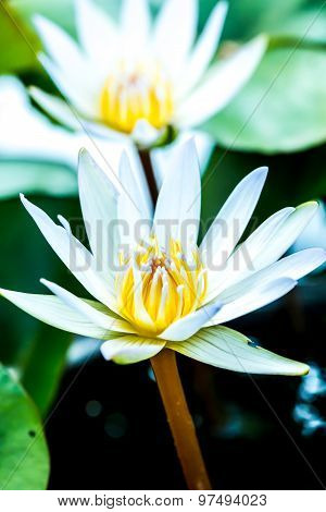 white  lotus flower in chiangmai  province Thailand.