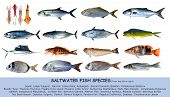 Fish species saltwater clasification seafood isolated on white poster