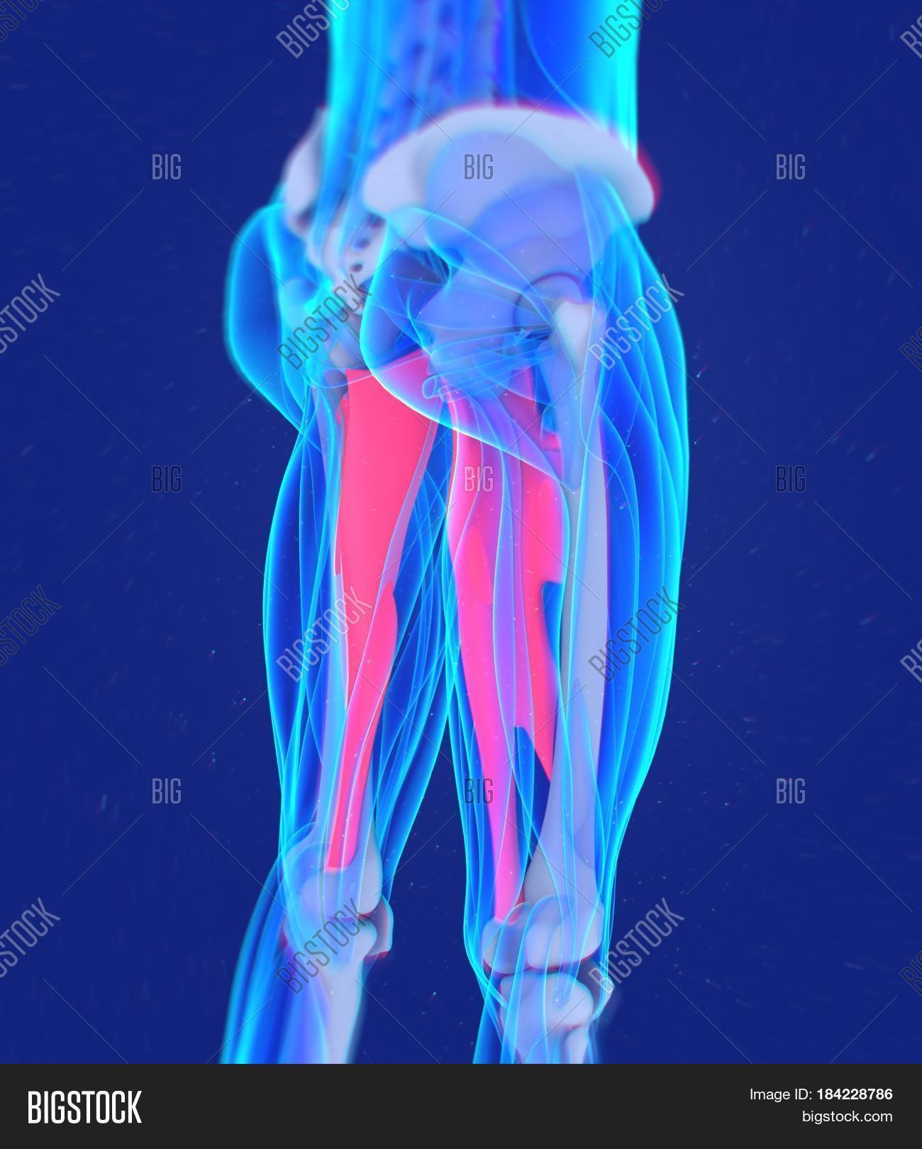 Adductor Magnus. Image & Photo (Free Trial) | Bigstock