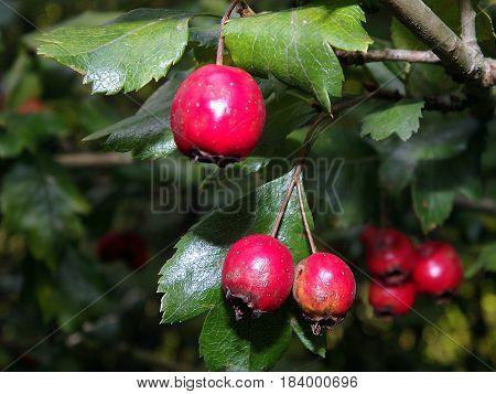Hawthorn berries and leaves , (Crataegus laevigata)