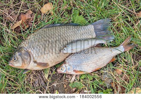Freshwater fish just taken from the water. Pile of the catching freshwater fish on green grass. Several bream fish crucian fish roach fish bleak fish on natural background.