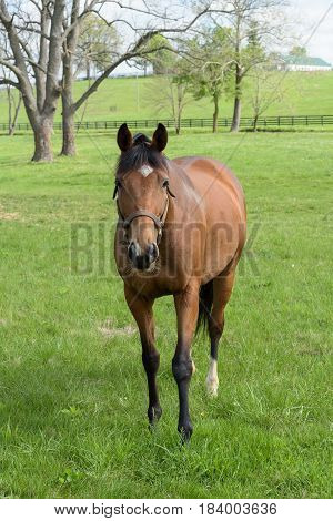 A thoroughbred mare standing in a bluegrass field with trees and fences in the background