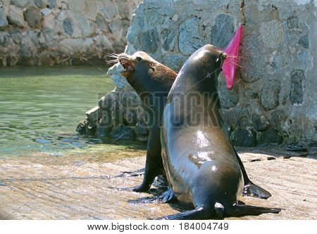Male California Sea Lions Fighting On The Marina Boat Launch In Cabo San Lucas Baja Mexico Bcs Mex