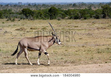 An oryx walks across an African plain