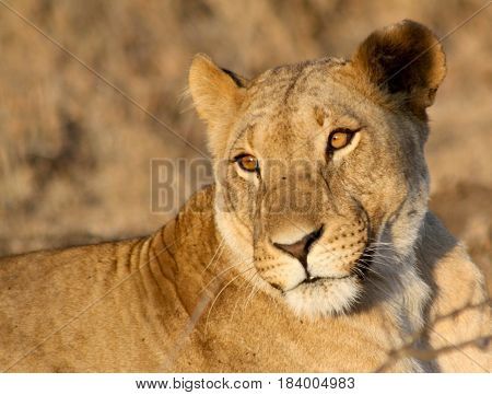 A portrait of a lioness in the golden afternoon sun