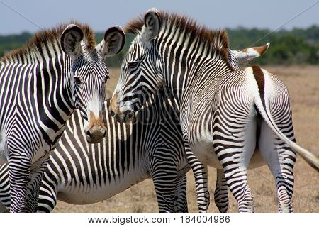 A herd of three Grevy's zebras in Laikipia, Kenya