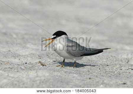 A Least Tern in breeding plumage on a beach in Florida
