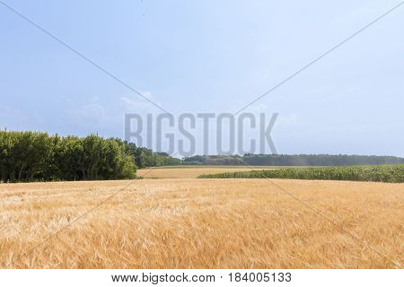 Wheat Field By Summer Day