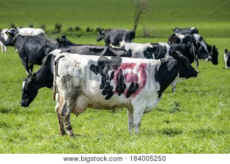 Holstein Frieser Cow With A Red Ecology Mark