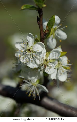 White delicate plum blossoms bloom in spring in sunny weather. Flowering plum.