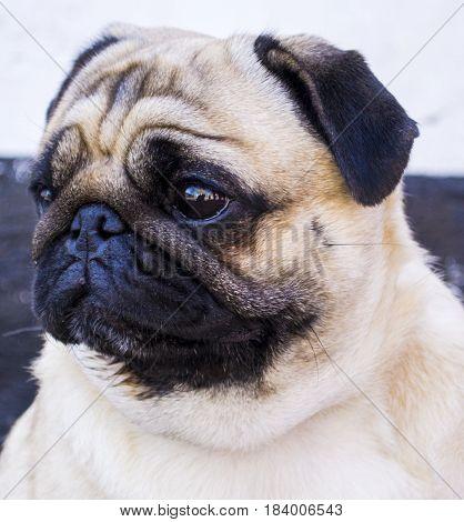 pug. Dog pug. Close up face of Cute pug