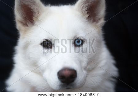 dog with cute head face domestic animal or pet with brown and blue eyes prick ears and white fluffy coat outdoors on grey blurred background. Friendship and guarding