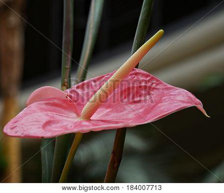 Anthurium or flamingo flower A closeup of a single anthurium flower