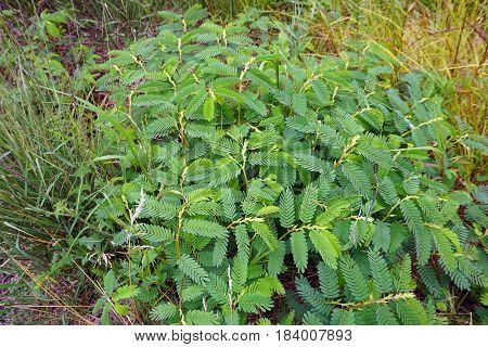 Partridge pea plants (Chamaecrista fasciculata) grow in Joliet, Illinois during July.