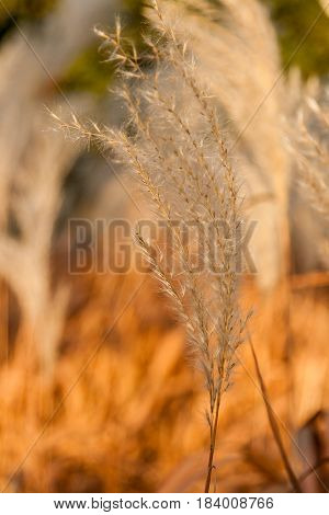 Autumn ears in a close up field